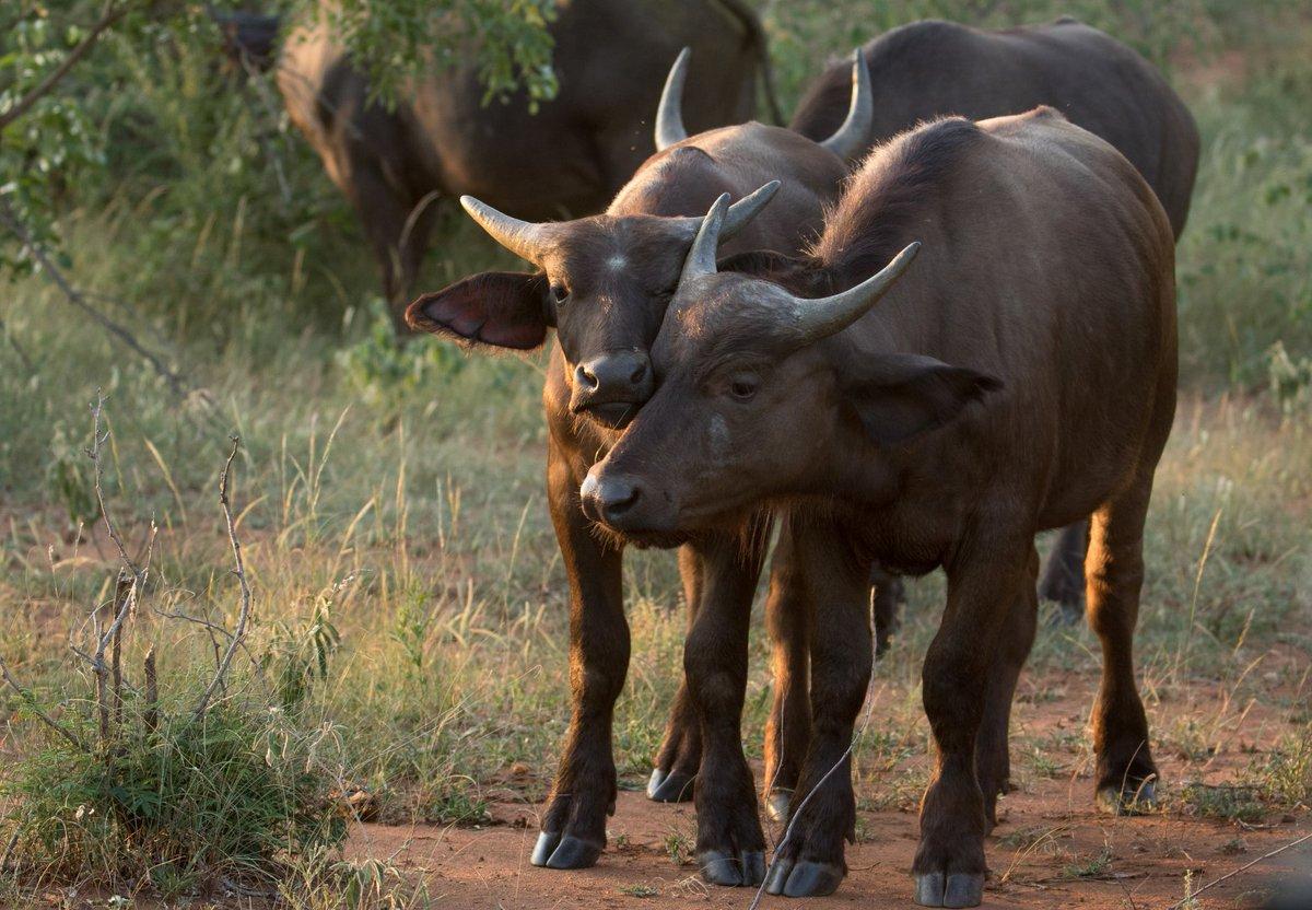 #SocialDistancing in the bush  Sophie Barrett  #Buffalo #BigFive #GarongaSafariCamp #Safari #MakalaliConservancy #SouthAfrica #TourismStrong #GameDrive #AfricanWildlife #DontStopDreaming #SeeYouJustNowpic.twitter.com/jzPNgGuG1J