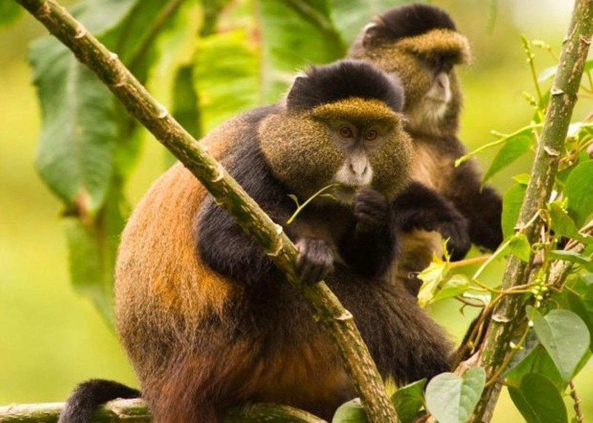 #GoldenMonkeys (Cercopithecus kandti) are beautiful unique primates found on the slopes of Virunga volcanic mountains of  Mgahinga in Uganda , Volcanoes in #Rwanda ,Virunga and Kahuzi-Biéga in the Democratic Republic of Congo. https://t.co/L2htizSG4c #Rwandasafaris #Tours https://t.co/WVB9oJCnd1
