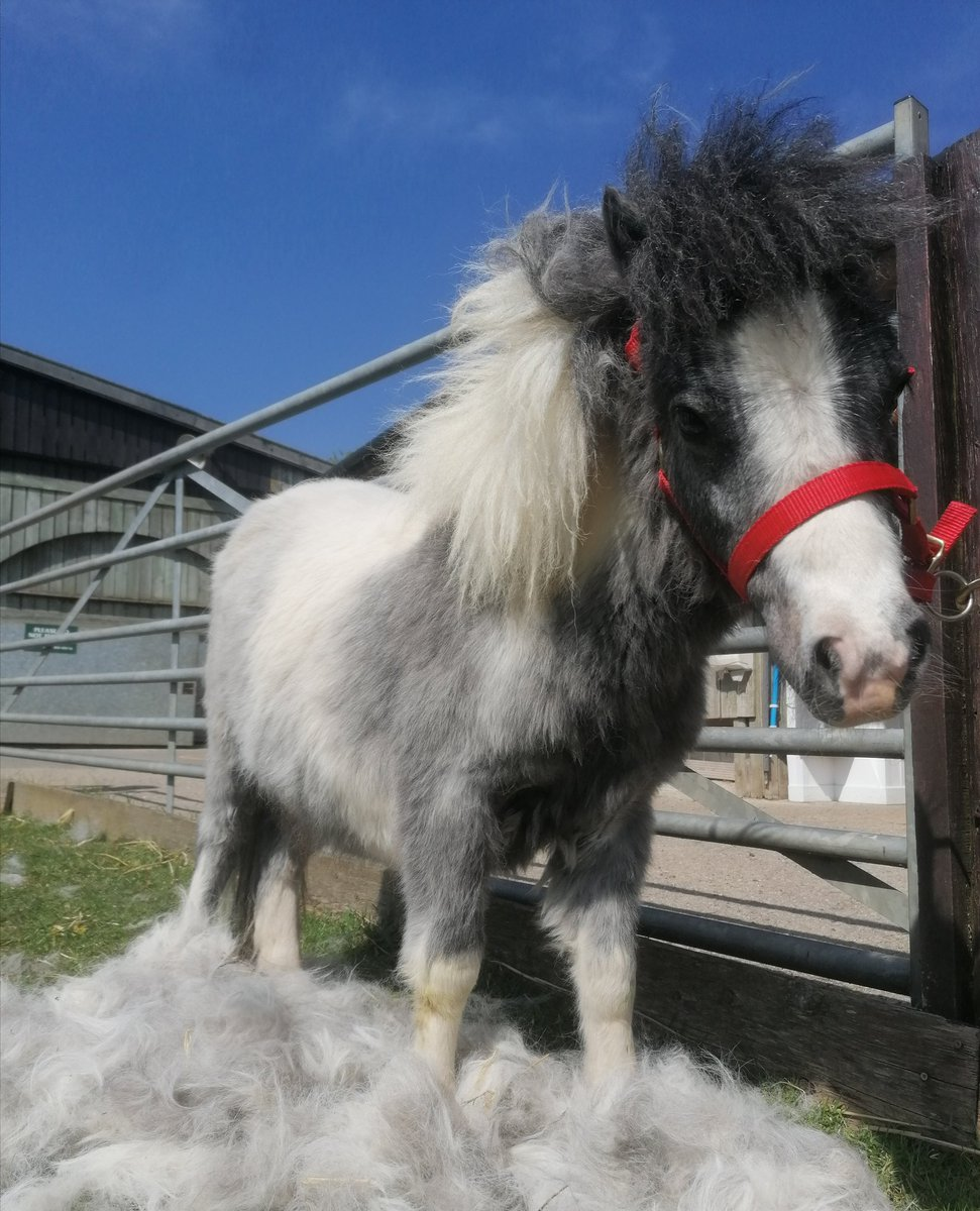 Little Yorkie one of our new miniature ponies has been having is winter coat brushed out 😎😎🐴🐎he must feel like he is on cloud 9☁️☁️🐴☀️🐎😁😍😍