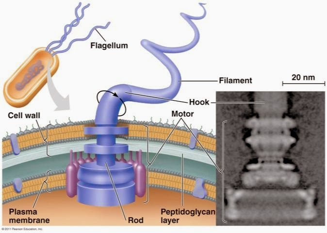 """ToughSF na Twitteru: """"While the bacterial flagellar motor is an incredible  piece of biological machinery approaching 100% chemical to mechanical  conversion efficiency, it is used very poorly and the overall propulsive  efficiency"""