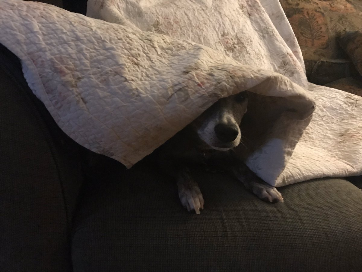 Blanket. A study of comfort in three images. #DogsOfTwitter #WhippetMix #GoodnightAllpic.twitter.com/u05AKtm0oT