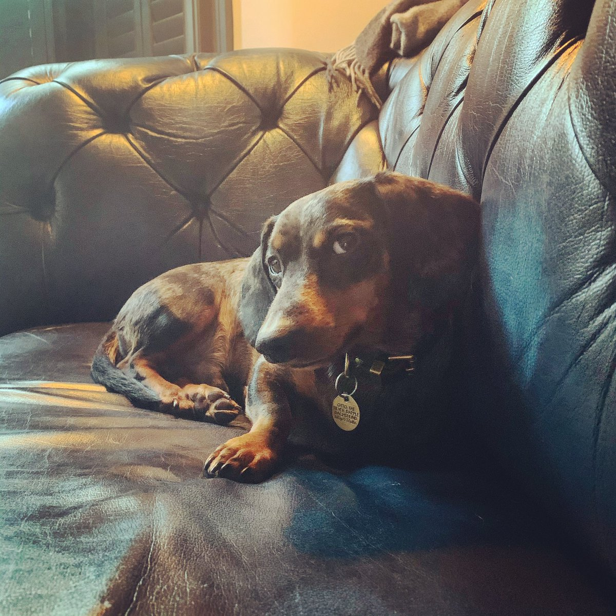 Friday morning sofa suspicion 👀 🌭🐶🐾😊 #sideeye #sofa #sofasausage #sideeye #whatdoyouwant #canihelpyou  #dappleotto #friday #fridaymood https://t.co/5cYe4qdxq8