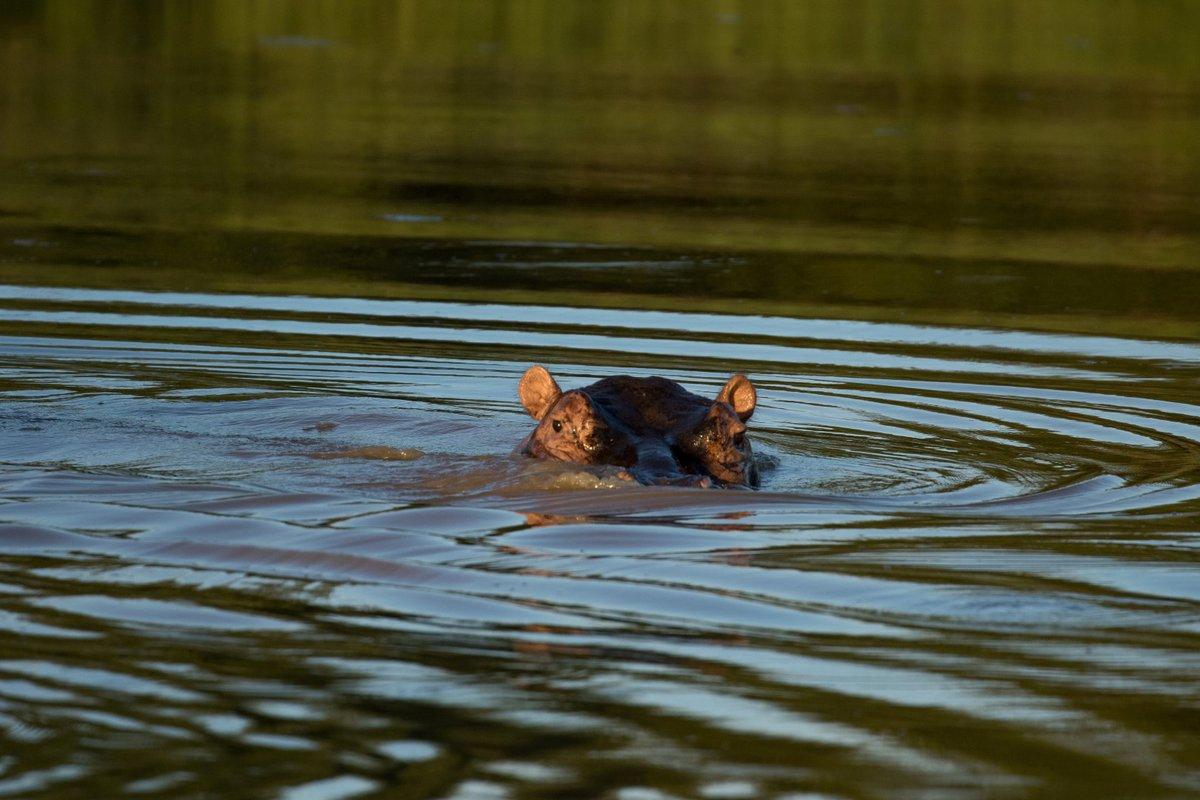 Ever get that feeling that someone is watching you?  Sophie Barrett  http://www.garonga.com/safaris  #Submarine #Hippo #RiverHorse #Safari #GameDrive #GarongaSafariCamp #MakalaliConservancy pic.twitter.com/UMZAD8CO1q