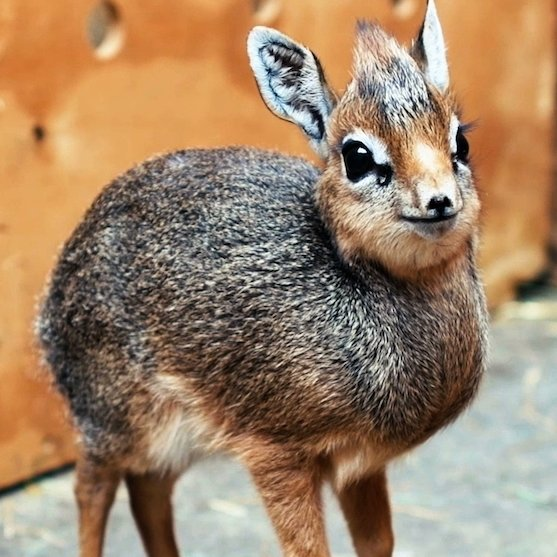@holly Think this is the only dik-dik pic anyone should receive.