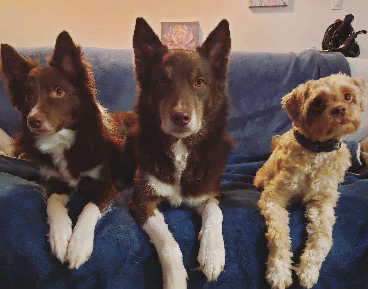 Doing our part to #selfisolate #doingourpart #selfisolation #dog #dogs #reddog #muppetdog #bordercolie #dogbrothers #dophoto #dogphotography #relaxeddog #posingdog #threedogspic.twitter.com/DgPHwNfHCB