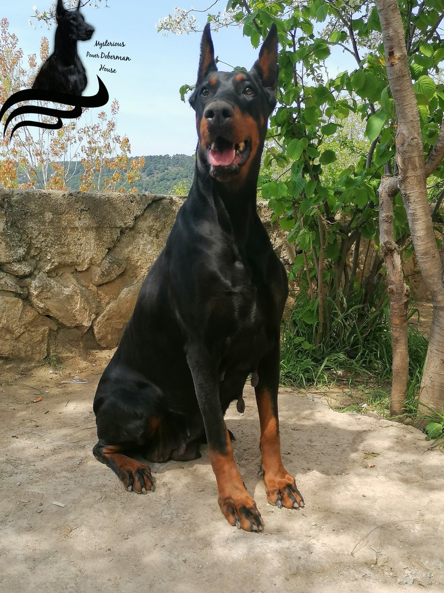 Champion girl giving nobility with her stance#mysteriouspowerdobermanhause #doberman #dobermanlove #dobermanpinscher #puppies #dobermanTürkiye #eniyidobermanlarpic.twitter.com/W1SBOFGpgk
