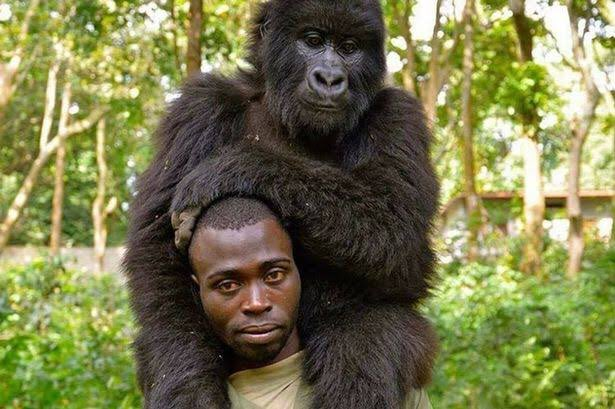 12 rangers were attacked and got killed in an an ambush in Virunga National Park in DRC. Saddened to know this tragic loss of saviours of wildlife. A world heritage site and biodiversity hotspot Virunga had been in news for ranger's selfi with gorillas. RIP green warriors.