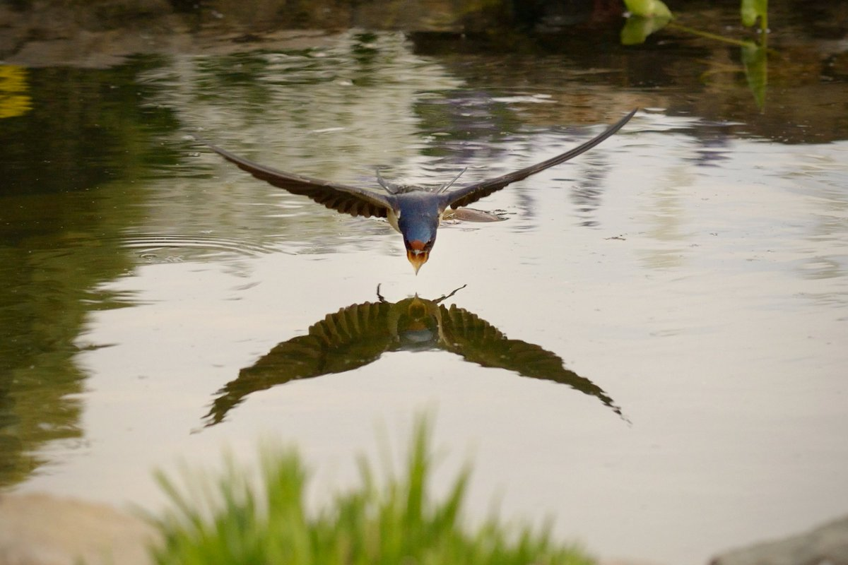 #swallow #Schwalbe ready for drinking at our pond in the backyard. pic.twitter.com/4oFpnW0eLD
