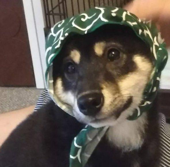 歩が1歳の頃の写真です(〃'▽'〃) 私は日本犬=唐草模様ってイメージがあって犬用のバンダナを色んなペットショップを行き手に入れてました(*^o^*)  #柴犬 #柴 #犬 #動物 #癒し #かわいい #可愛い #カワイイ #愛犬 #泥棒犬 #日本犬 #shibaken #黒柴 #followme #followpic.twitter.com/vPKWvEc5fO