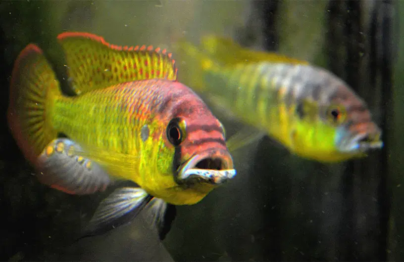 Underwater noise impairs social communication during aggressive and reproductive encounters - in these awesome cichlids, Astatotilapia burtoni https://t.co/858UV6wxjd by @jmbutler18 and @MaruskaLab  @asab_tweets  #fishsci https://t.co/0GFNoSB6KD