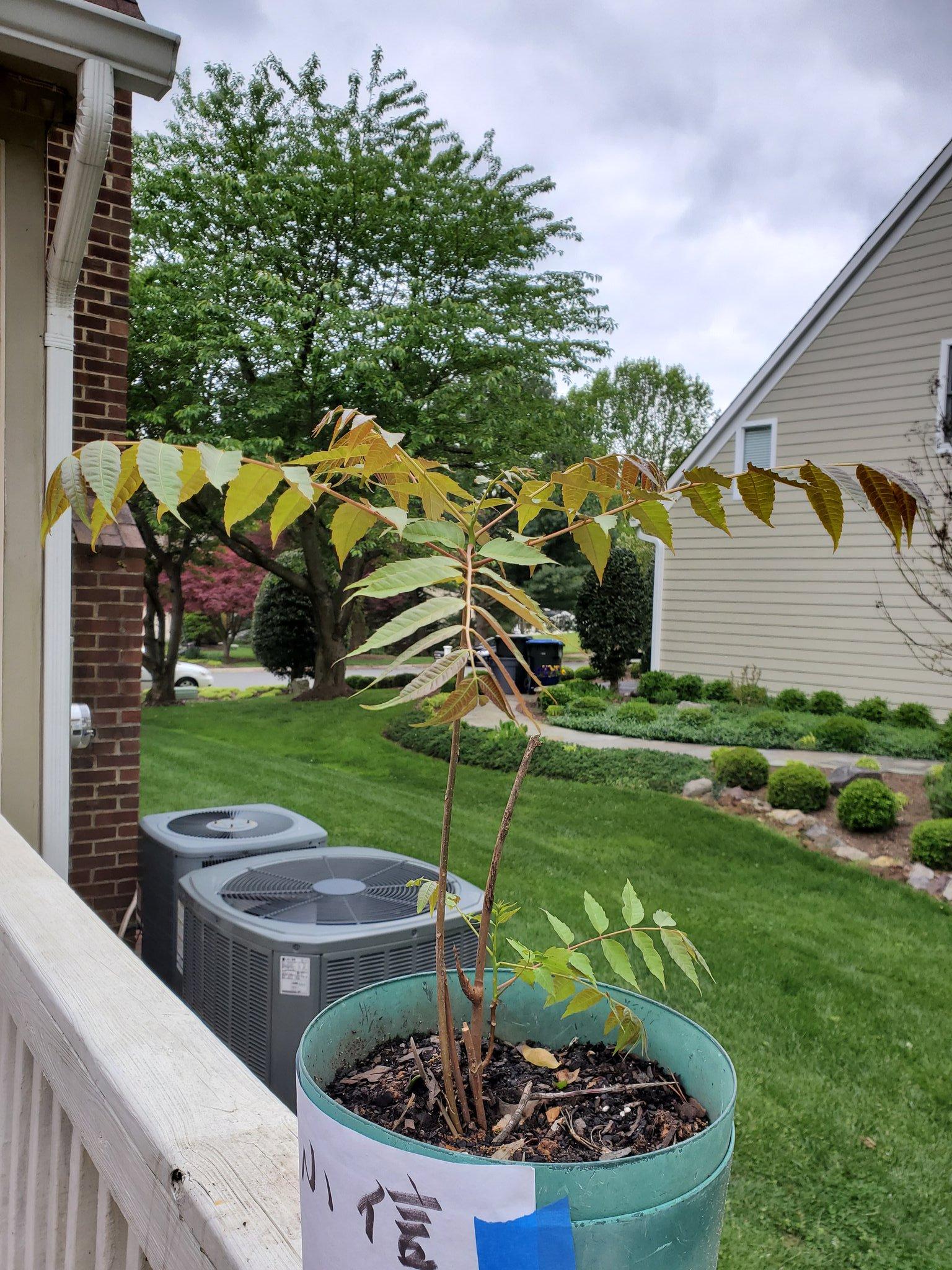另外一个朋友送的香椿树