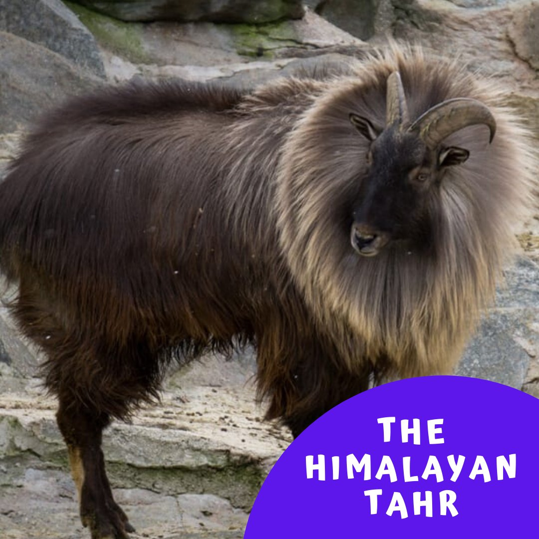 The Himalayan Tahr are great climbers thanks to their hooves that allow them to grip smooth rocks and lodge their feet into small footholds.   #critterfacts #tahr #himalayas #nature #wildlife #animals #mountains #climb #himalayantahr #wildgoat #india #tibet https://t.co/y9k1ngc2oN