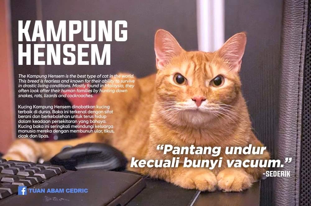 Faiz On Twitter Buat Yg Nanya Nanya Jenis Kucing Lokal Mana
