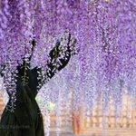「藤の花」の美しさを見て、癒されて下さい!紫の色がしっとりと美しい。