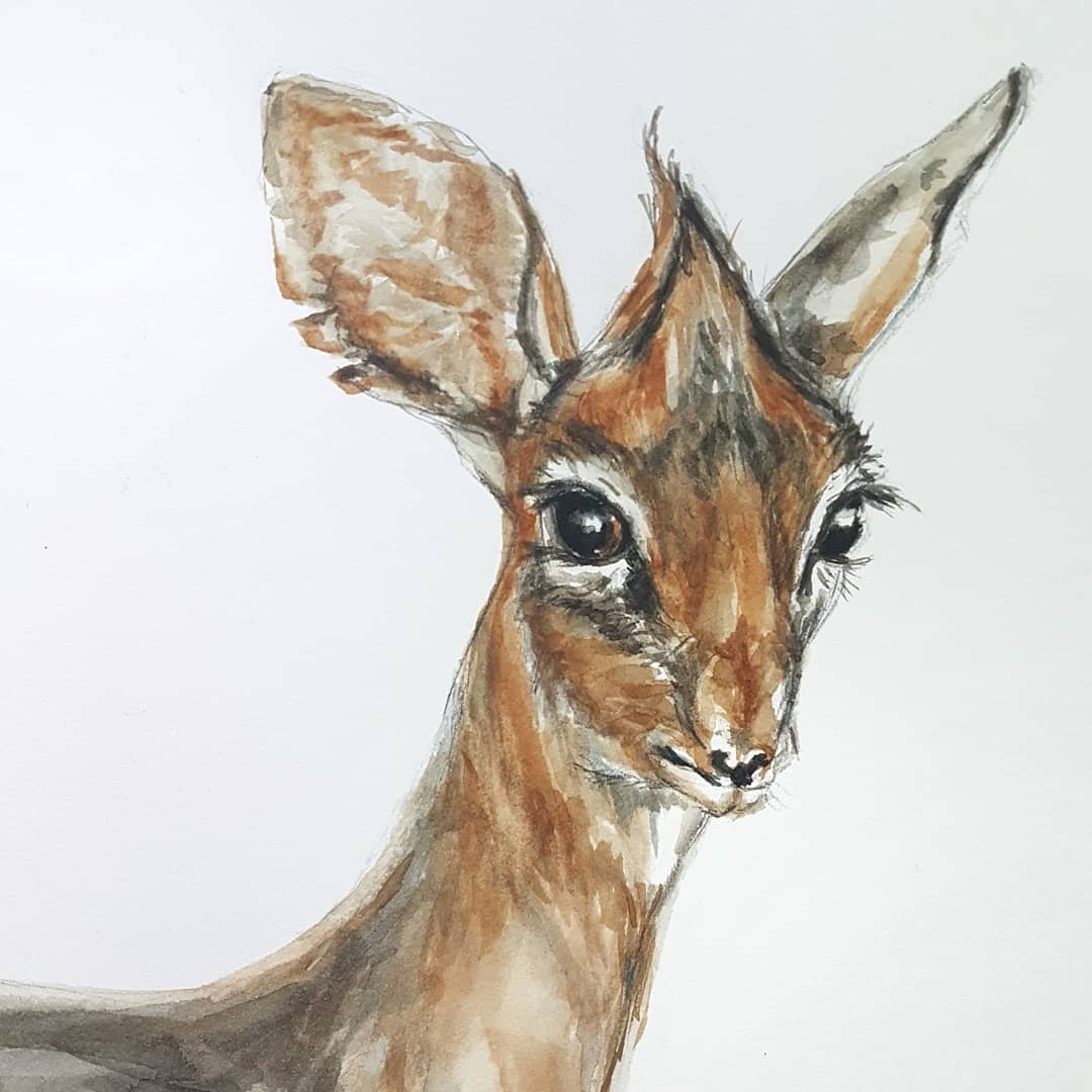 I fell in love with #dikdiks the moment I first heard of them. These #antelopes are so incredibly small and cute! #watercolorpainting #watercoloranimals #animalart #natureillustration #artpractice #artonpaper #animalillustration #worksonpaper #animalstudy # #deerpaintingpic.twitter.com/Ll78Ea0Q0q
