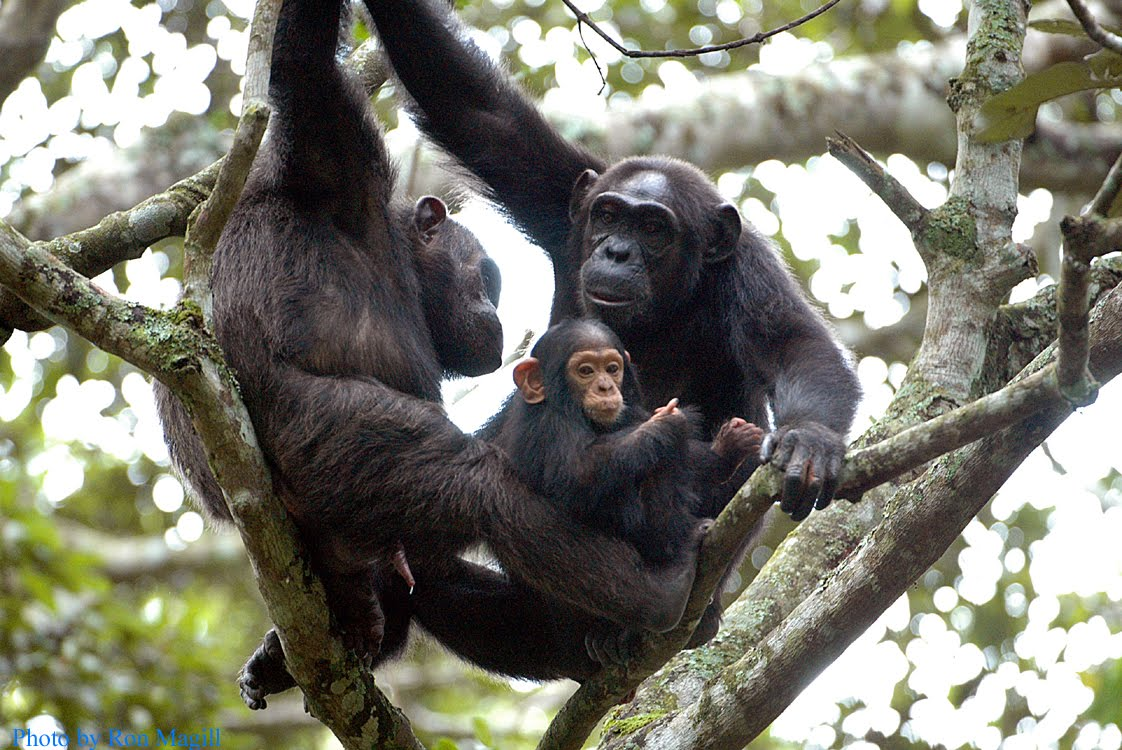 #Chimpanzeetrekking in Nyungwe Forest is one of the top #RwandaSafari activities that tourists book for when they visit #Rwanda. https://t.co/JhFzhIeAoi #Rwandasafaris #Rwandatour #Wildlifesafari https://t.co/QDKtCMWDms