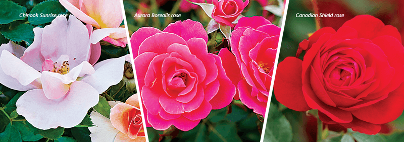 Landscape Ontario On Twitter Stunning New Rose Varieties Are Being Bred Right Here In Ontario Learn About The Vinelandrsrch And Cnla Acpp S New Plant Development Committee Program In The Latest Issue Of Landscape