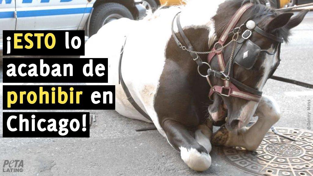 @RicardoChavez ¡VICTORIA! Gracias a la labor de Chicago Alliance for Animals y #PETA, los caballos de #Chicago ya no se verán forzados a galopar entre el intenso tráfico ni andar en el pavimento expuestos a climas extremos.👊Para los caballos de Chicago, es una victoria histórica https://t.co/mTTOXnVb85