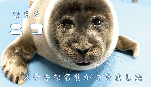 バイカルアザラシ ニコちゃん
