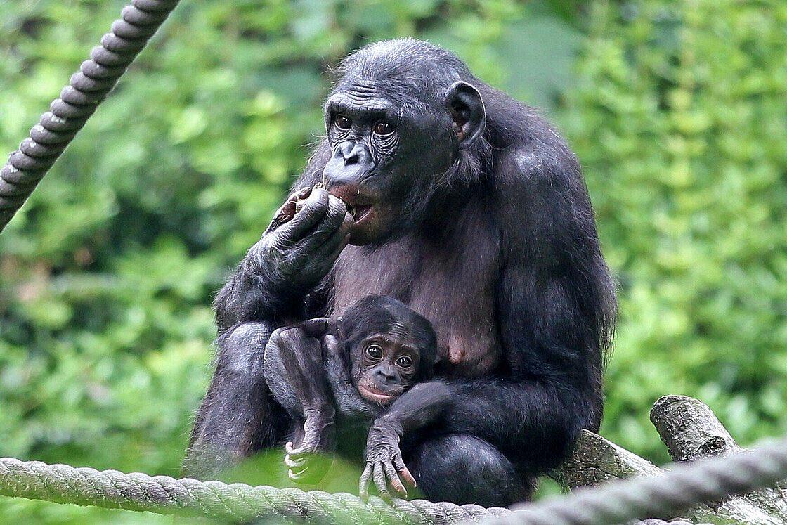 Rodrigues Compares Behavior Of Captive Chimpanzees, Bonobos In Recent Publication