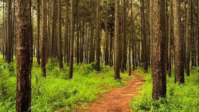 9 Ngwo Pine forest - Enugu State