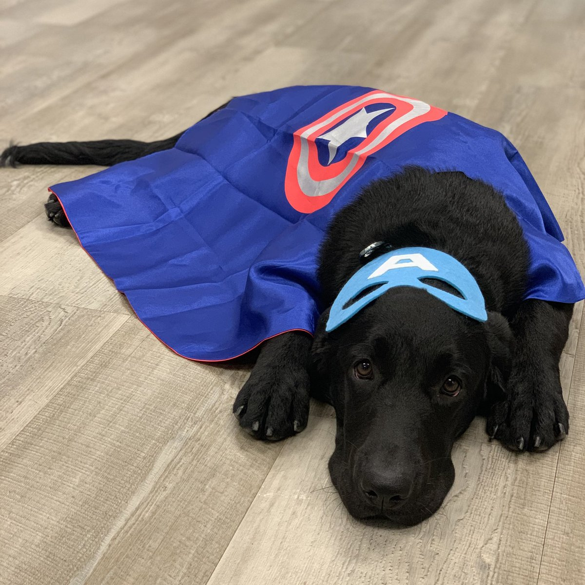 Riley channeling her inner super hero! Let's celebrate National Superhero Day and remember to thank those who make the world a better place for all. We appreciate your sacrifice! #pawsforpurplehearts #nonprofit #pphRiley #servicedogintraining #nationalsuperheroday #herosinuniform pic.twitter.com/qOiGifsJ2u