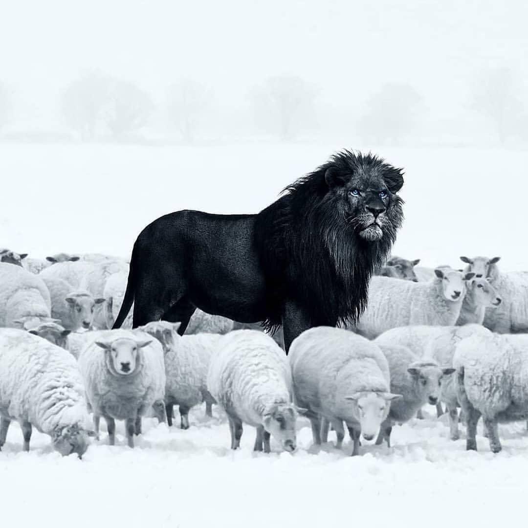 The king ..... @Natures_dest  . . . . . . #lion #lionking #lions #lioness #lionair #lionshead #lionsofinstagram #lionhair #lionlove #lionqueen #lionlife #lionesses #lionessmama #wildlife #wildlifephotography #wildlifeplanet #wildlife_perfection #wildlifeonearthpic.twitter.com/Fh0tGQlwJ9