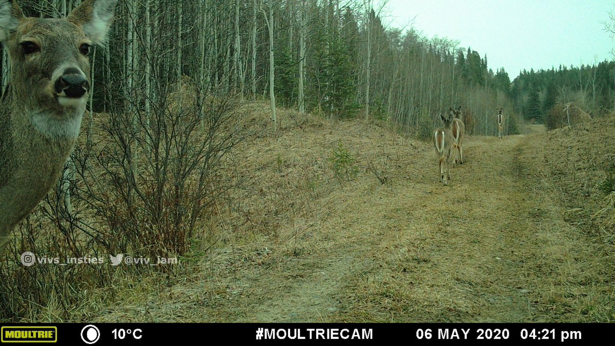 Sometimes the critters leave funny pics of themselves behind. 👀🦌 #wildlifewednesday #nature #albertafoothills #deer