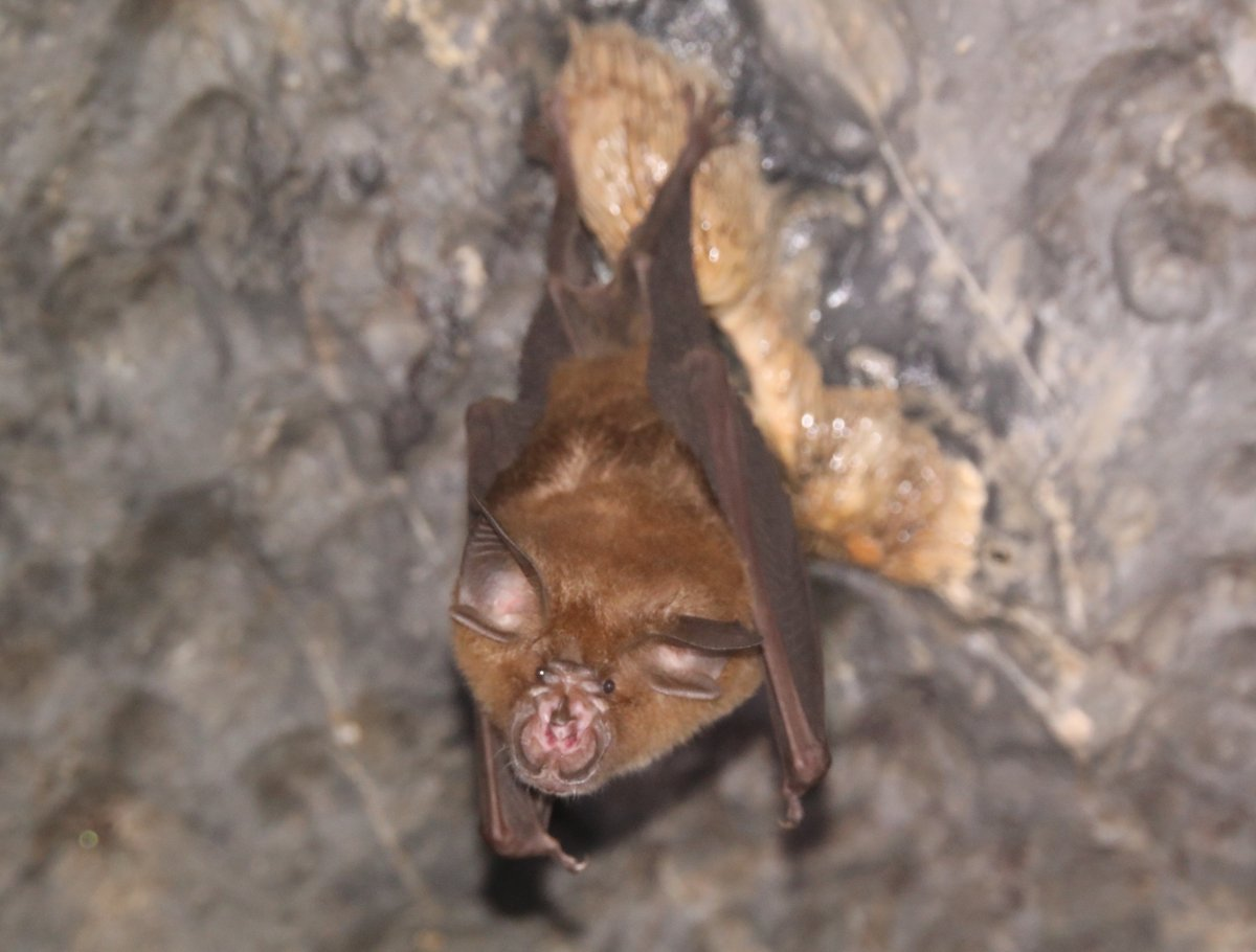 New blog post: How special are bats as reservoirs of human disease? Contributed by @caraebrook and @SarahEGuth gbatnet.blogspot.com/2020/05/how-sp…