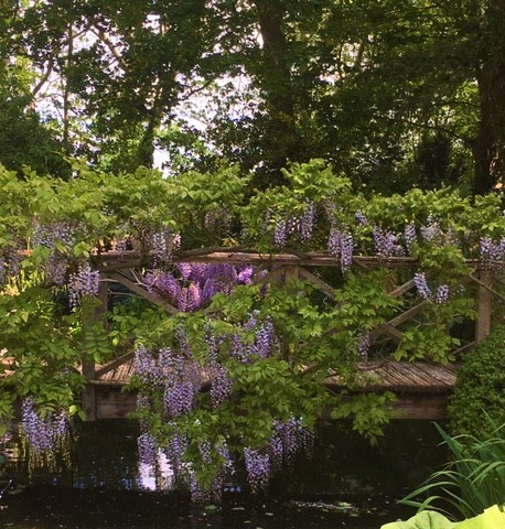An outbreak of mass wisteria at the Old Vicarage.
