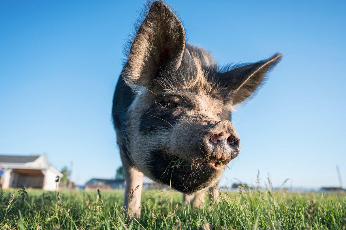 I made some new friends... Pig friends...pic.twitter.com/jRtTit4fgi