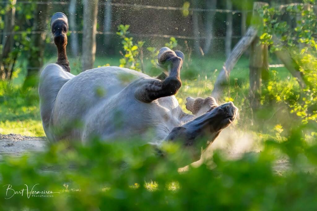 Konik paard neemt een zandbad. . . . . . #nuts_about_wildlife #animalelite #splendid_animals #shots_of_animals #animals_captures #all_animals_addiction #marvelouz_animals #exklusive_animals #exclusive_wildlife #naturelovers #bns_nature #wildlife_perfecti… https://instagr.am/p/CAIwCb3gcHR/pic.twitter.com/K9RLAGKfAZ