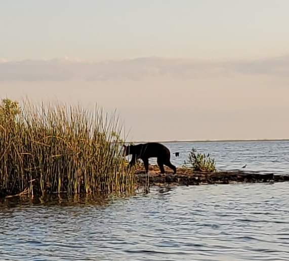 Bear seen in Lake Okeechobee today