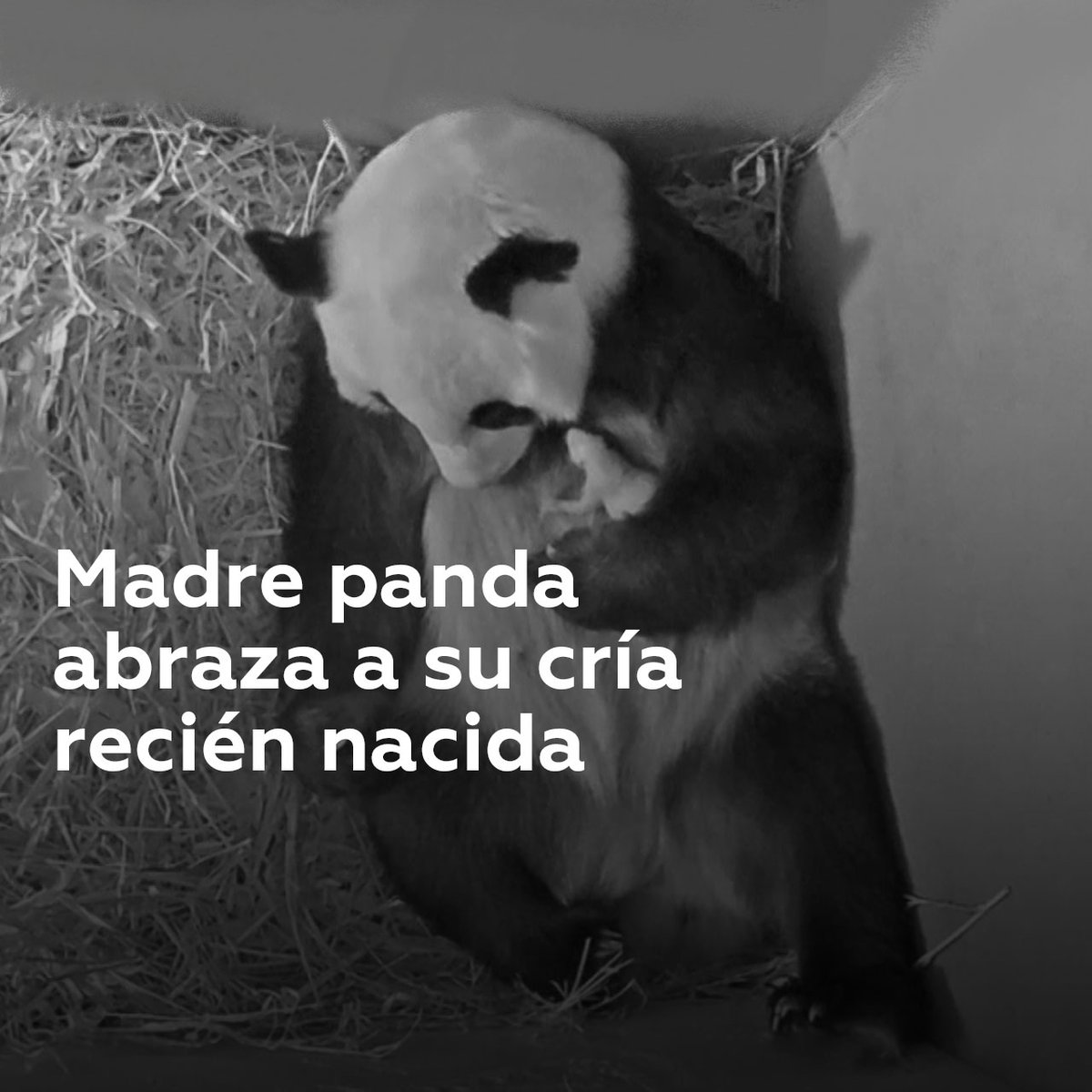 Una cría de panda recién nacida recibe el abrazo de su madre