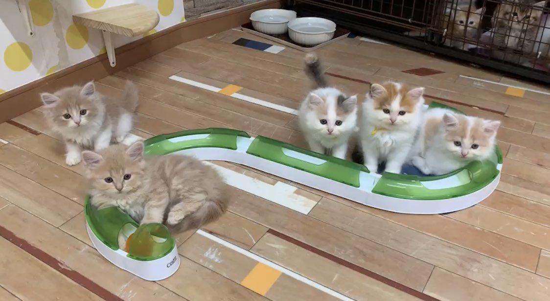 子猫 ブリーダー みんなの