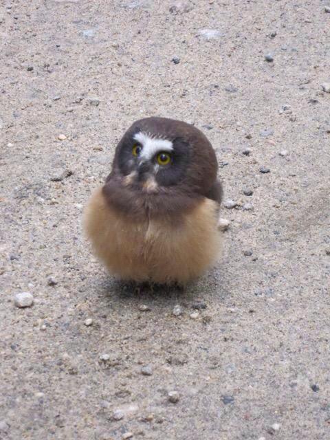 警察に事情聴取されたフクロウの赤ちゃん