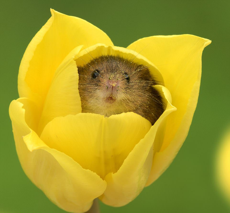 お花から出てくるカヤネズミさんが親指姫に見えてしまう