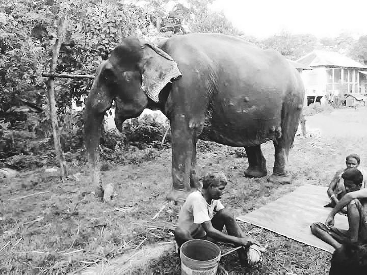 'Madhubala' was born on 1930 and purchased by forest dept on 1969-70. She was served as a best guard ever. Last time I met her at Moiradanga Beat of Jaldapara National Park. My condolences to your family. ভালো থেকো, দেখা হবে। @NatureIn_Focus @SanctuaryAsia https://t.co/EOQ1caTXLr