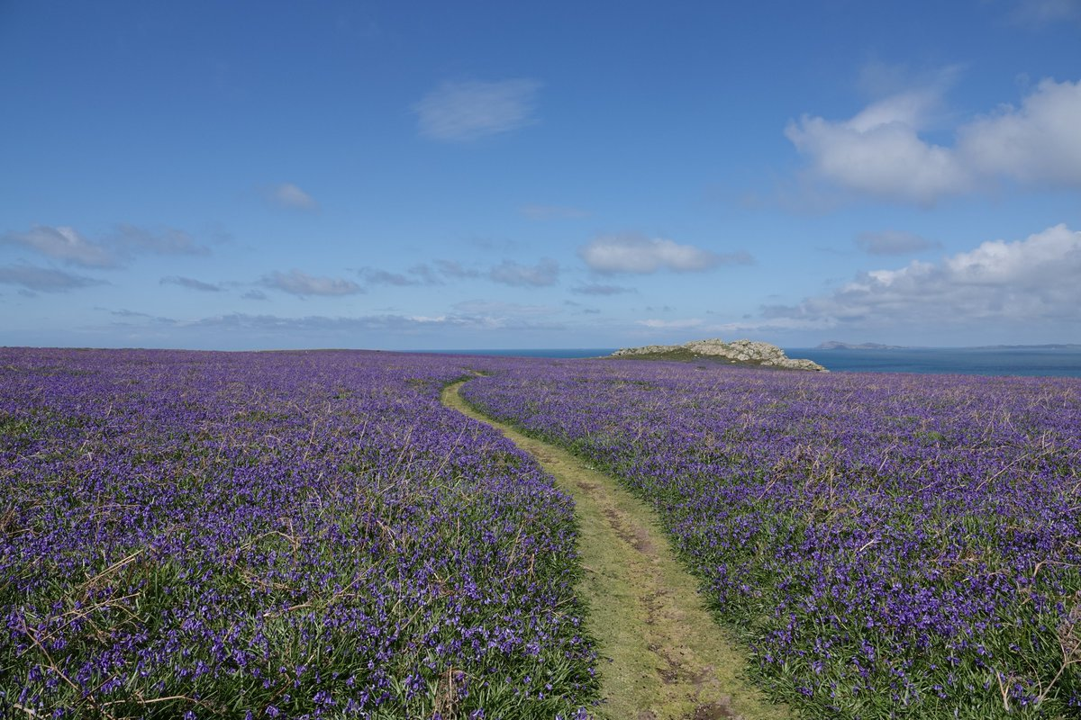 It's this time of year again when Skomer is carpeted with bluebells💚 @WTSWW