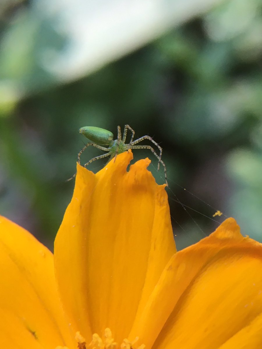 One bloom over, is a tiny green lynx😄 #SpiderSunday