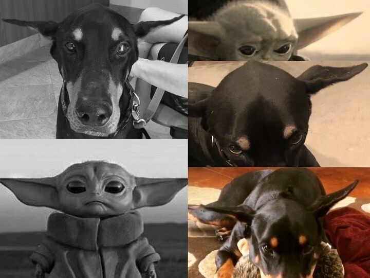 May the 4th Be With You  Audition Edition. Skill set includes Ear Levitation and Side Eye. #ThoseEarsTho #IchiTheDoberman #AirplaneEars #Doberman #dobermanlove #dobermansofig  #dobermaninstagram #dobe #dobermans #dobelove #dobermann #dobie #dobielov… https://instagr.am/p/B_x1XZ-pARx/ pic.twitter.com/AHZb3SdUrj