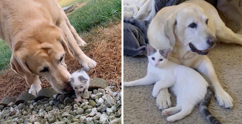 Dog took a stray kitten under his wing and raised her into beautiful cat. See full story and video: lovemeow.com/dog-raises-str…