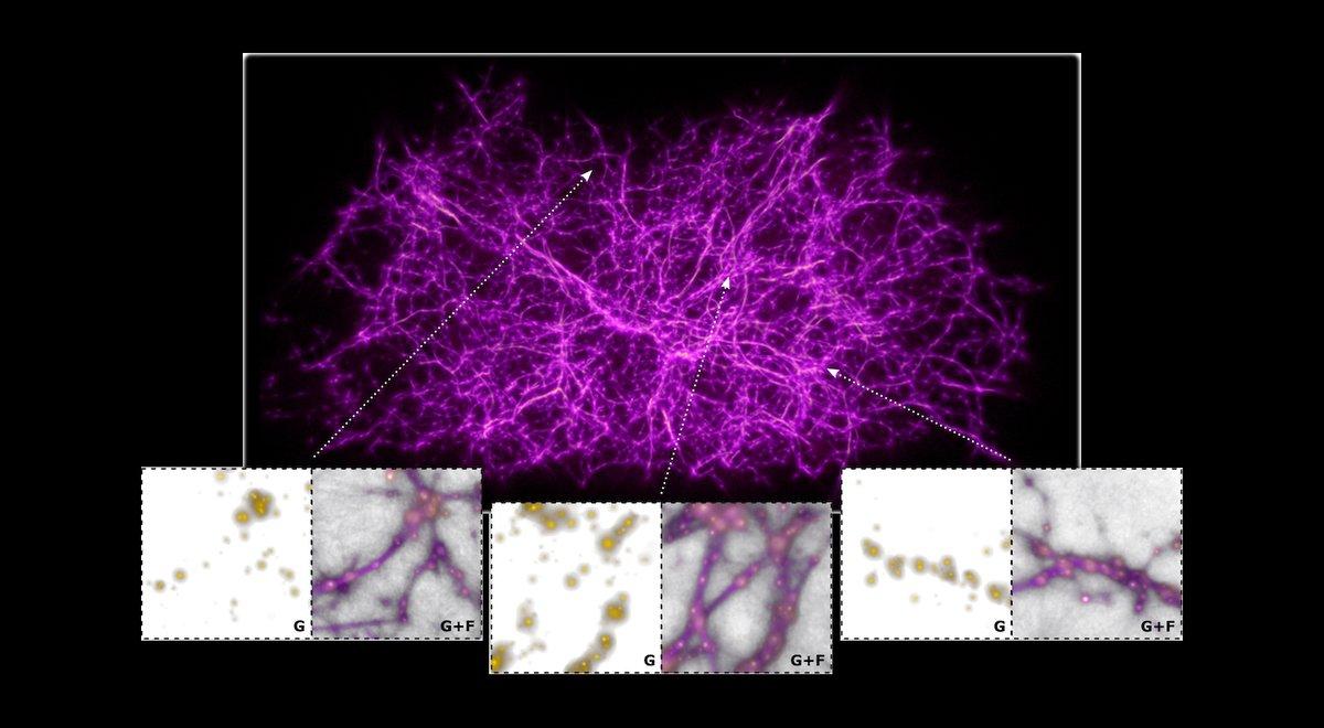 Featured Image: On the Cosmic Web and Slime Mold aasnova.org/2020/05/04/fea… @ucsc @UCSCscience @jnburchett