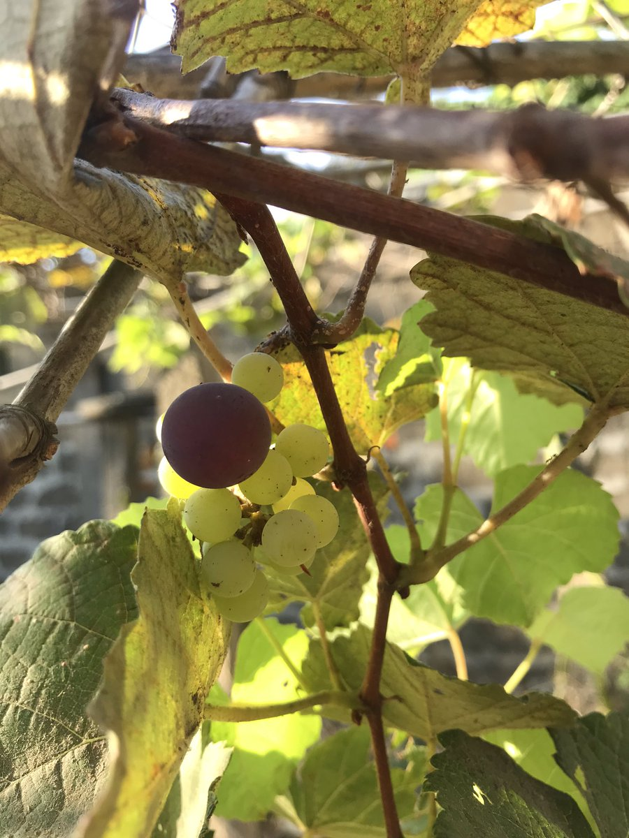 #grapes in our yard https://t.co/lm1cHp0sSv