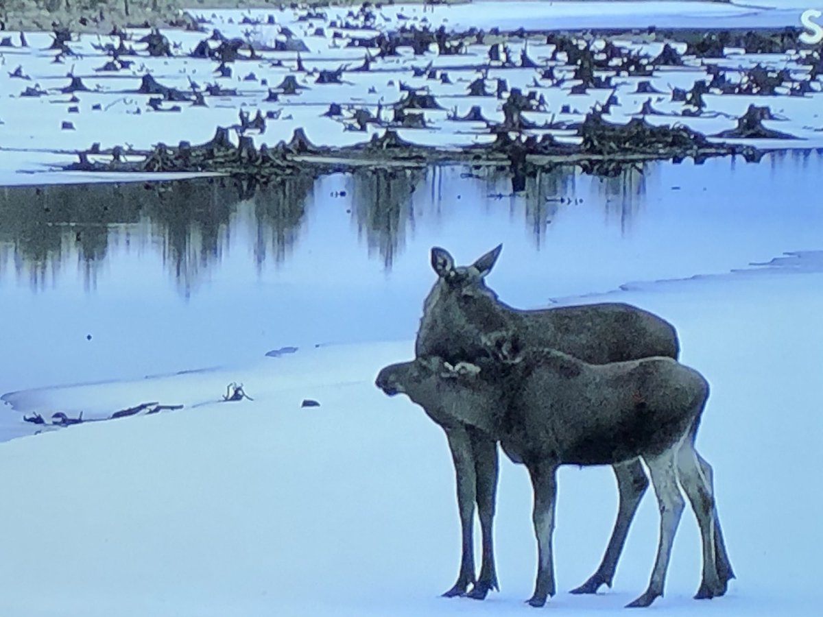 Perfect SlowTV for #mindfulness or animal behaviour nerds like me. Follow the moose to its summer pastures live 24/7 @svt #https://www.svtplay.se/video/26616610/den-stora-algvandringen/den-stora-algvandringen-sasong-2-5-maj-06-00-1 https://t.co/TbognuD5Yt
