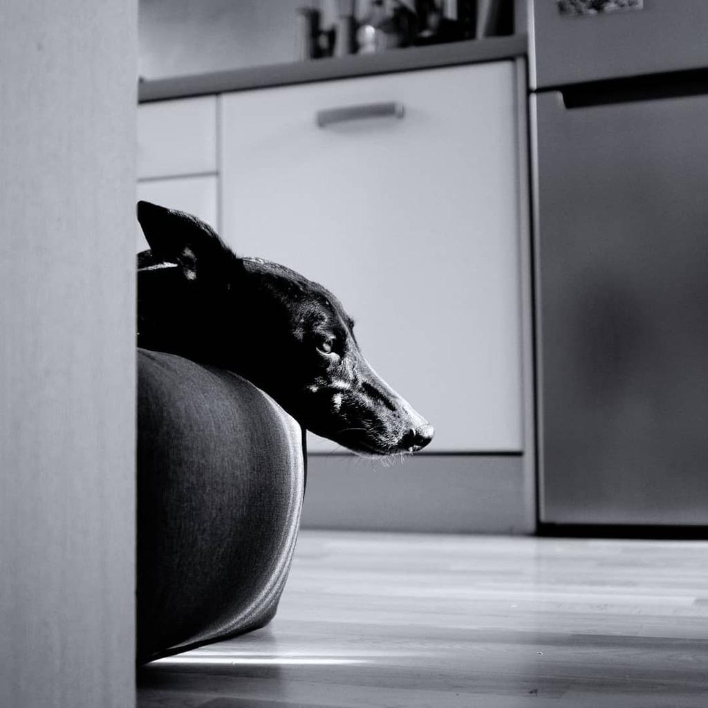 When will dinner be ready? . #petportrait #greyhoundportrait #dogportrait #greyhounds #greyhoundlove #snowflakegreyhound #greyhoundsofinstagram #greyhoundcuteness #greyhoundsmakegreatpets #waitingforfood #lightandshadow #bnw #bnwportrait #bnwdogs #blacka… https://t.co/14svM6JAWq https://t.co/Tc8POIiwXE
