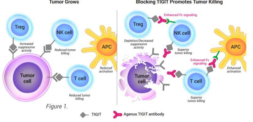 test Twitter Media - NEWSLETTER:  Two $AGEN TIGIT antibodies on track to enter clinic in 1H 2021.  READ MORE: https://t.co/MRqJZqHgqO https://t.co/y3etuZu4C7