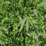 Image for the Tweet beginning: #cannabis #marijuana #weed MÜV™ Medical