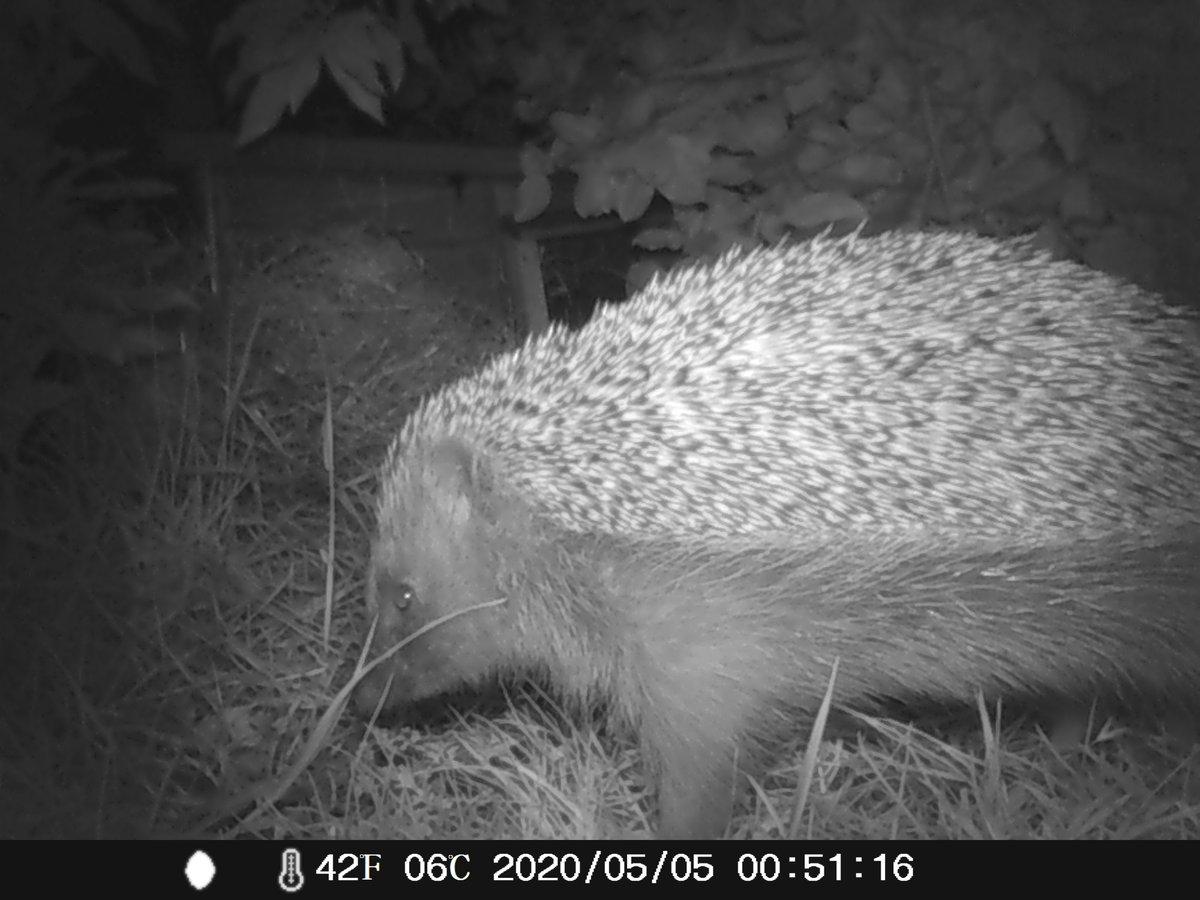 Caught this beauty on the #hogcam last night #hedgehog #hedgehogs #hedgehogweek #hedgehogawarenessweek #wildlife
