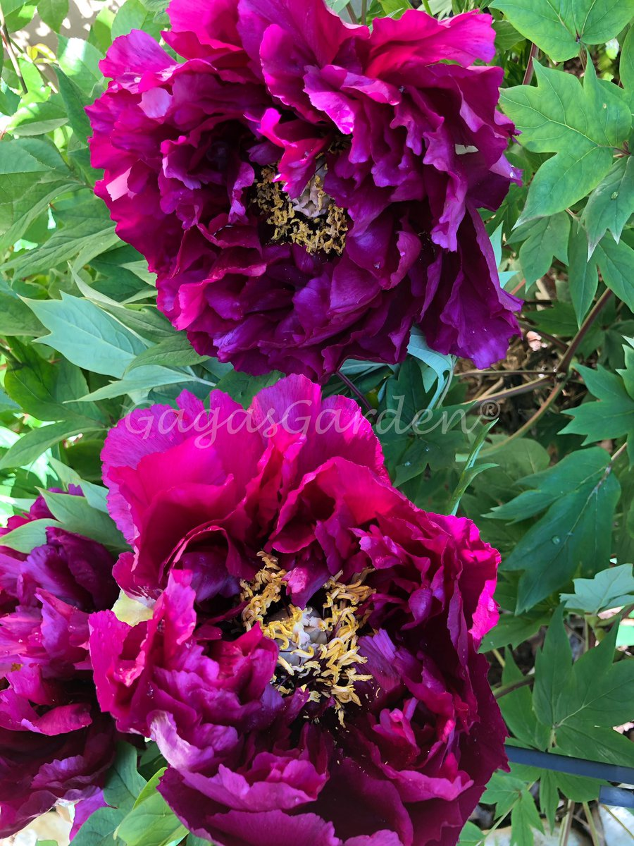 'Black Dragon' Tree Peony is an exotic highly anticipated blooming event.   Voluminous dark maroon-red blossoms with decorative bright yellow stamens.   Hybridizer unknown but originates from Yokahama, Japan around 1905.  #peonies #Spring #gardening #peony pic.twitter.com/ZD0D8VzeFE